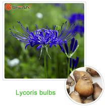 Blue Lycoris Bulb,Spider Lily,Lycoris Radiata - 4 Bulbs - $11.61