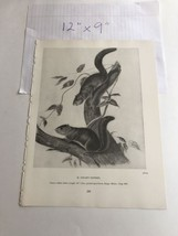 Canada Otter 35 Book Plate Picture Art John James Audubon 9x12 - $19.80