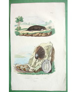 SEA SHELLS & Star Nosed Mole Natural History - H/C Color Antique Print - $9.00