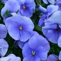 50 Seeds Blue Pansy Seeds, Blue Viola Seeds, Blue Pansies, Flowers Seeds - $13.99