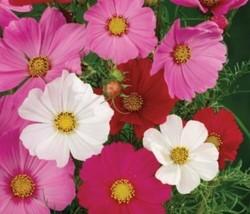 5 Variety Seeds - Cosmo Seeds- Sensation Mixture #SMS60 - $12.99+