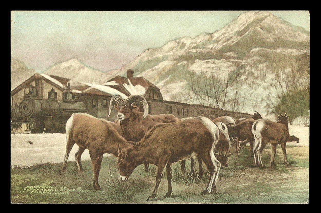 Mountain Sheep Postcard Colorado Ouray Feed Near Train Albertype CO PC