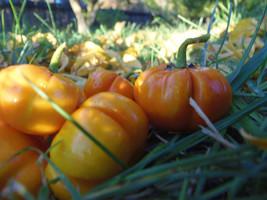 Pumpkin Tree - fun and edible heirloom, fresh seed for 2015 - $4.00