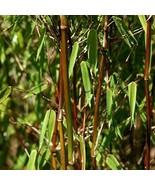 20PCS Fresh Black Bamboo  (Fargesia Sp Jiuzhaigou 4) hardy - $6.99
