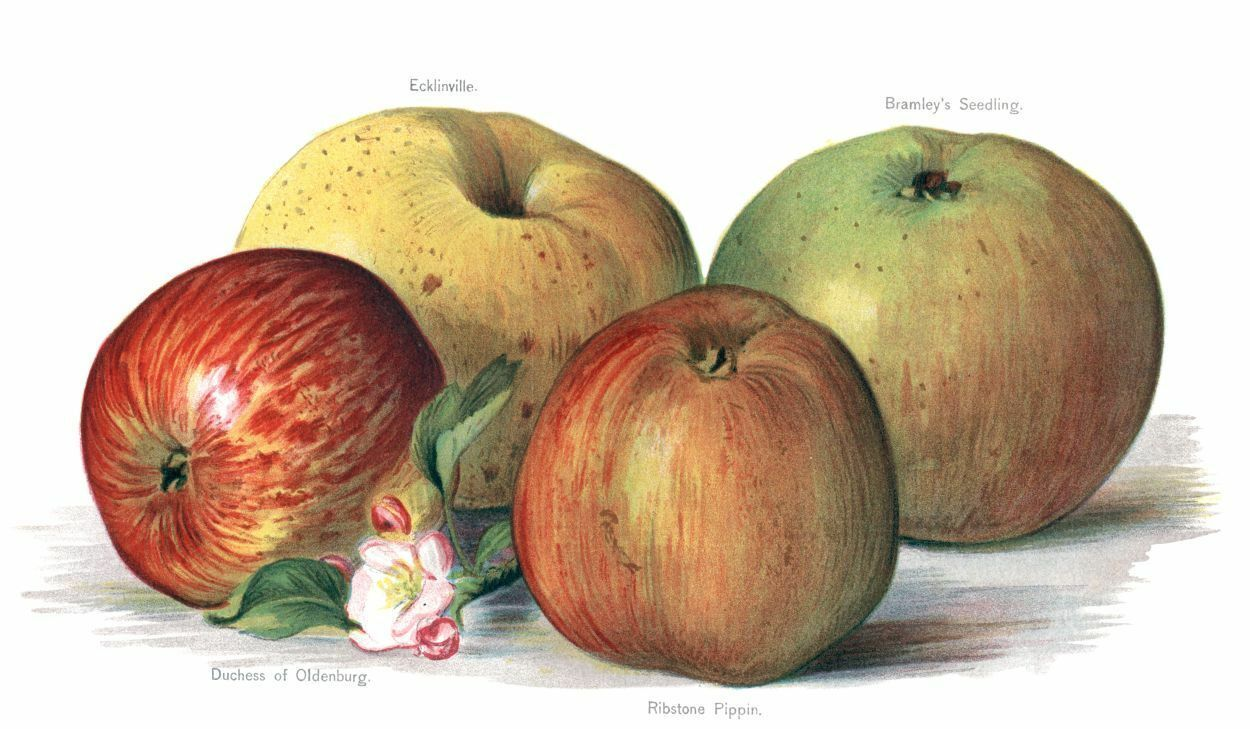 Primary image for Vintage Fruit Prints: Ecklinville - Fruit Growers Guide - 1880