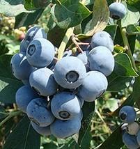 Gallon Pot Tifblue Blueberry Bush Hardy Perennial 1 Plant FREESHIP - $81.00