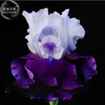 20 Pcs Iris Orchid Tectorum Seed, Home Decorative Heirloom Flower Seeds T11 LR - $6.99