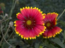 SHIP FROM US 600 Blanket Flower Seeds - Gaillardia aristata, ZG09 - $18.76