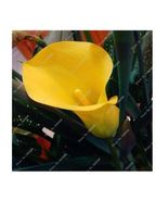 HAPPY FLOWER 2 Bulbs True YELLOW Calla Lily Flower Zantedeschia Love Symbol - $2.48