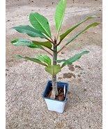 "12"" to 20"" tall - Frangipani Plumeria ELSIE - Rooted Seedling Plant - $49.49"