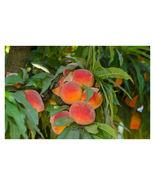 1 Gallon Pot - 1 Plant Empress Peach Tree - Hardy - Established - Outdoor  - $94.99