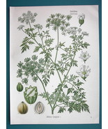 FOOL'S PARSLEY Medicinal Aethusa Cynapium - Beautiful COLOR Botanical Print - $13.77