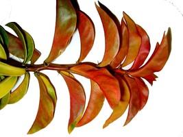 PERESKIA Tropical Gooseberry Thorny Fruiting Cactus Plant Colored Leaf Fragrant - $48.99