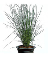 Cs lot ornamental rush juncus effusus l seed bonsai flower plant seed home garden free thumbtall