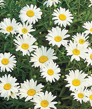 Shasta Daisy Live Plant Leucanthemum superbum Flower - $22.90