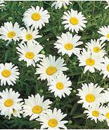 Shasta Daisy Live Starter Plant Leucanthemum superbum Flower - $29.90