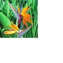 Bird of Paradise Seeds Hawaiian – 2 Pack #D2 - $17.70