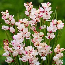 10 Flower bulbs Tulip species Clusiana Tubergens Gem - $9.90