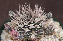 Gymnocalycium schickendantzii rare cactus seed 20 SEEDS - $18.00