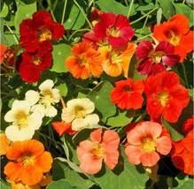 Nasturtium Tom Thumb Mix Seeds 50 seeds - $10.65