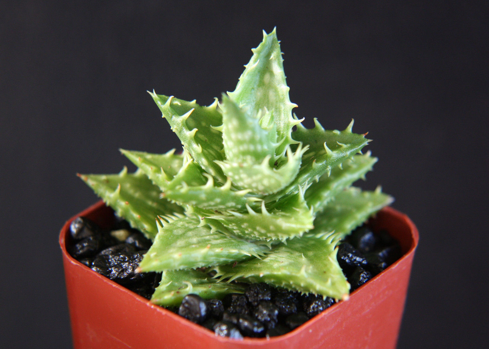 "Primary image for SHIP From US, 2"" pot ALOE JUVENNA, succulent plant cacti ECC"