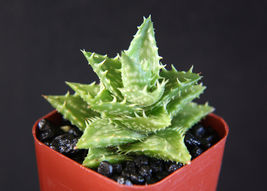 "SHIP From US, 2"" pot ALOE JUVENNA, succulent plant cacti ECC - $29.88"