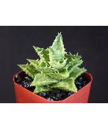 "SHIP From US, 2"" pot ALOE JUVENNA, succulent plant cacti EC - $33.99"