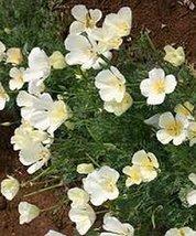 500 Poppy (White Linen) Seeds - $8.99
