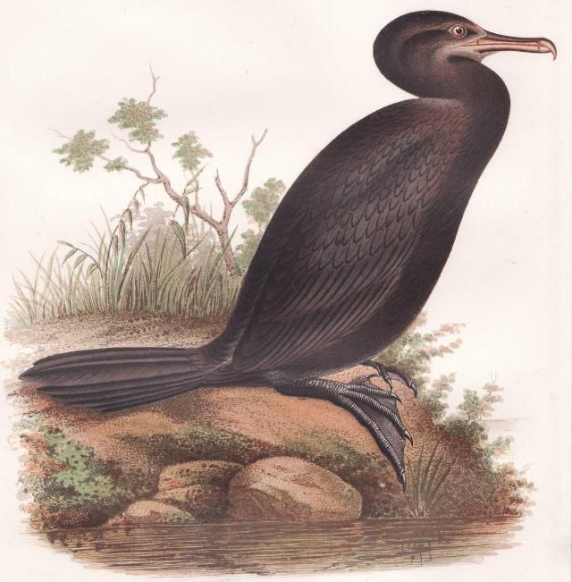 1855 Beauitful Color Lithograph of Neotropic Cormorant , Antique Bird Print