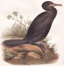 1855 Beauitful Color Lithograph of Neotropic Cormorant , Antique Bird Print - $39.99