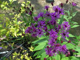 Organic Native Plant, New York Ironweed (Vernonia noveborace - $3.50