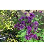 Organic Native Plant, New York Ironweed (Vernon... - $3.50