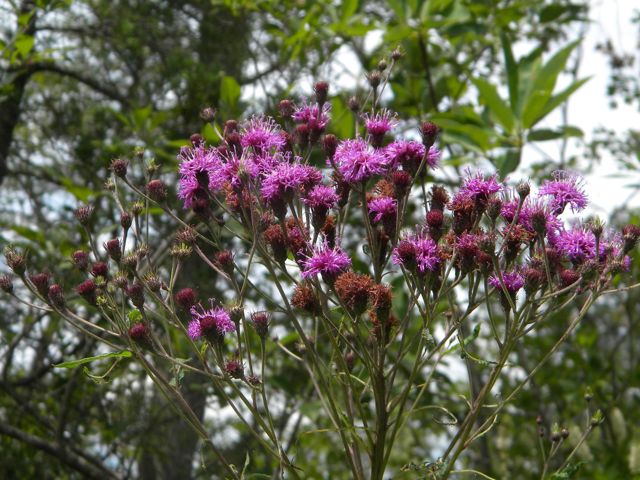 Organic Native Plant, New York Ironweed (Vernonia noveborace