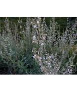 Organic  White Sacred Sage Seeds,  Many Medical Uses. - $2.96