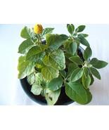 Desert * Heat Tolerant * Seeds Medical Herb Garden - $6.92