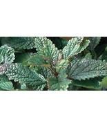 Organic Lemon Balm Seeds - Calmative & Ease Stress! - $2.96