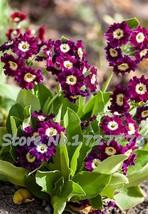 200pcs Primula Malacoides plants rare for garden (6), HZ Beautiful Flowe... - $8.89