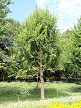 10 Acer buergerianum ,Trident Maple Seeds - $7.00