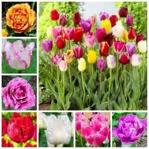 10 Pcs Tulip Seed Tulip Flower Beautiful Tulipanes For Garden (Not Tulip... - $3.52