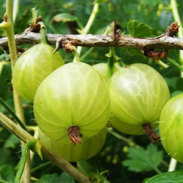 Primary image for PIXWELL GOOSEBERRY PLANT- SHIPS FULLY ROOTED IN SOIL