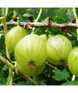 PIXWELL GOOSEBERRY PLANT- SHIPS FULLY ROOTED IN SOIL - $79.99