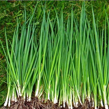 SHIP From US, 100 Seeds Tokyo Long White bunching Onion,DIY Healthy Vege... - $27.99