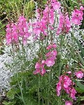 50 Pcs Pink Checkermallow Flower Seeds #MNSB - $14.99