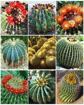 Barrel Cactus Variety Mix Exotic Globular Ball Cacti Rare Flower Seed 50 Seeds - $7.99