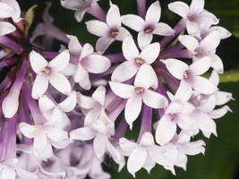 Shrub lilac Persian flowering Re-blooming hardy small tree LIVE PLANT - $31.99