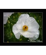 Wild White Poppy Thistle - Fine Art Print - WF0092C - $17.50