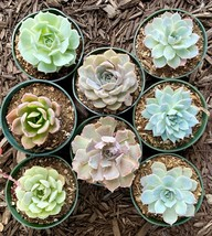 8 pots of 4 Inch Rosette Echeveria Succulent, fully rooted image 2