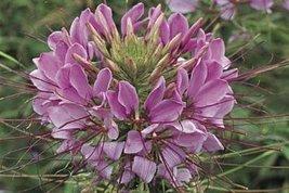 5 Seeds of Cleome Sparkler Series Lavender - $16.83