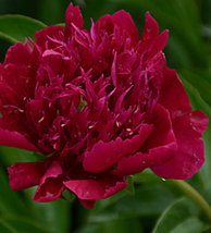 5 pcs Peony Deep Red Petals Long Hairy Centre Flower Seeds Very Excellent - $13.90