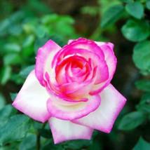 82BA 20Pcs/3g Nostalgia Rose Seeds Fragrant Easy Grow Home Garden Plant ... - $2.47